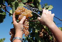 Azienda Agricola Casale Marchese è una azienda in una delle zone più tipiche della produzione del vino Frascati D.O.C. Situata nell'area dei Castelli Romani.<br /> The Casale Marchese company lies in Roman Hills. The most typical area for the wine production Frascati D.O.C.<br /> Contadini durante la raccolta di uva. Farmers during the harvesting of grapes.