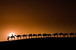 A camel train transporting salt across the Sahara, Mali