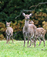 Fallow Deer at Woburn Deer Park in Bedfordshire at the start of the rutting season. Woburn, Bedfordshire, UK October 16th 2020<br /> <br /> Photo by Keith Mayhew