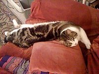 BNPS.co.uk (01202 558833)<br /> Pic: NickHoare/BNPS<br /> <br /> Pictured: Buster<br /> <br /> A beloved pet cat was 'mauled to death' by a police dog off its lead as it searched for a burglary suspect.<br /> <br /> Owner Nick Hoare was left in shock after receiving a call from Dorset Police to say his tortoiseshell cat, called Buster, had been accidentally killed by the force's dog during the operation.<br /> <br /> The tragic incident happened close to the seven-year-old cat's home in Weymouth, Dorset.