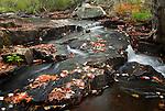 Autumn colors dot Duck Brook on Mount Desert Island in Acadia National Park, Maine, USA