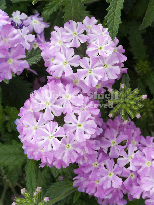 Verbena Lanai Lavender Star