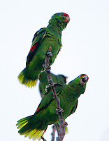Red-crowned parrots gathering for roosting