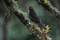Glossy-black Thrush (Turdus serranus), adult,Papallacta, Ecuador, Andes, South America