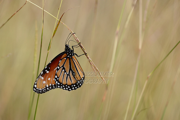Queen (Danaus gilippus), Lost Maples State Natural Area, Hill Country, Texas, USA