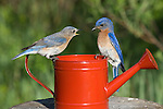 Male and female eastern bluebirds perched on a watering can