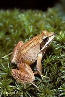 FR19-001z Wood Frog - adult -  Lithobates sylvaticus, formerly Rana sylvatica