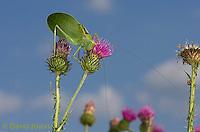 0815-0910  Common True Katydid (Northern True Katydid), Pterophylla camellifolia © David Kuhn/Dwight Kuhn Photography