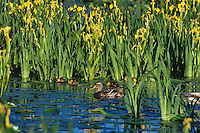 Mallard Duck hen with young ducklings feeding in the shallows of a Pacific Northwest lake.  June.