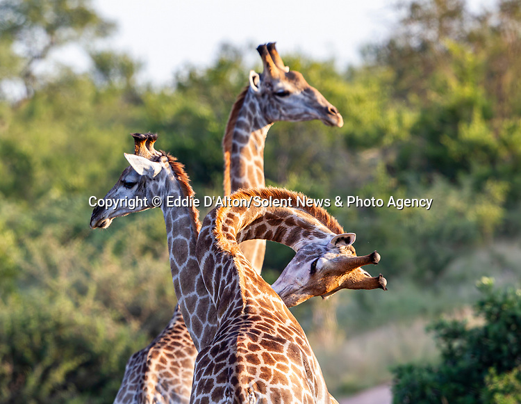 "REVEAL - SEE MAIN IMAGE:  THREE HEADED GIRAFFE...... Three giraffes converge together to create an intruiging optical illusion.<br /> <br /> Looking like a triple-headed marvel of nature, the photo of the long-necked mammals was captured in the Kruger National Park, by Eddie D'Alton from Pretoria, South Africa.<br /> <br /> Eddie said, ""It was quite a lucky picture, the moment was over quite rapidly.  As soon as I saw them I realised it would make for a nice picture.""<br /> <br /> Please byline: Eddie D'Alton/Solent News<br /> <br /> © Eddie D'Alton/Solent News & Photo Agency<br /> UK +44 (0) 2380 458800"