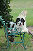 Border Collie and Cat