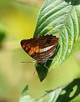 adelpha delinita