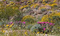 Opuntia basilaris var. basilaris, Beavertail Cactus flowering in Sonoran Desert at Anza Borrego California State Park