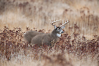 White-tailed Deer Buck (Odocoileus virginianus) in late fall (light snow).