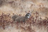 White-tailed Deer Buck (Odocoileus virginianus) in late fall (light snow).