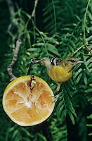 Baltimore Oriole, Icterus galbula,young male feeding on grapefruit, South Padre Island, Texas, USA, May 2005