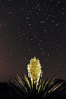 Trecul Yucca, Spanish Dagger (Yucca treculeana), blossom at night with stars, Laredo, Webb County, South Texas, USA