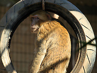 """Monkey sitting on a tire swing stock photo.<br /> <br /> This image is also available in monochrome. View the gallery-""""Black & White Fine Art Images""""."""