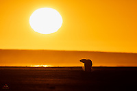 """We had a full day of shooting video and stills of one of our favorite species - the Polar Bear (Ursus maritimus). As we headed in from our afternoon boat trip, the sun sank low over the Arctic Circle. One last Polar Bear crossed our path - it was swimming in the channel between Kaktovik and the spit of land off the coast. Here the young male bear made landfall and sauntered off into the sunset. He was kind enough to exhale in the cold air, while walking on the dark shore. A """"story book"""" ending to a wonderful day!"""