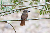 White-whiskered Puffbird female, Yaxha, Peten, Guatemala