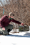 New Hampshire Fish and Game Biological Technician, Brett Ferry places rabbit trap under classic New England cottontail rabbit new forest habitat inside the Great Bay National Wildlife Refuge, vertical.