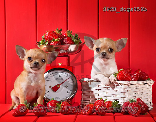 Xavier, ANIMALS, REALISTISCHE TIERE, ANIMALES REALISTICOS, dogs, photos+++++,SPCHDOGS959B,#a#