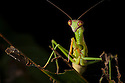 Praying mantis {Mantodea}. Masoala Peninsula National Park, north east Madagascar.