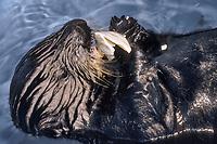 Sea Otter, Enhydra lutris nereis, Endangered Status, eating clams, Montery Bay, California, USA