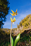 Glacier Lilies in western Montana, often the first flowers to grow after the snow melts in spring