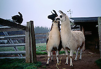 Two curious llamas intently watch a cat on a fence as they come out of their stalls in the morning. Gentle and social herd animals, llamas evolved from the Andean highlands. They are raised for their coarse wool which is warm and can be used by fiber artists.
