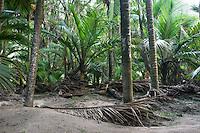 Native Nikau Palm trees in Kohaihai near Karamea, Kahurangi National Park, Buller Region, West Coast, New Zealand, NZ