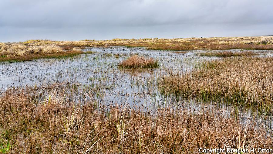 Mixed dune grasses in flooded dunes, along Grayland Beach, Washington.  Grayland Beach Stae Park.