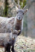 Steenbok (Capra ibex). .
