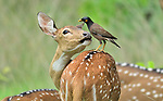 A myna bird perched on a spotted deer by Tanay Panpalia