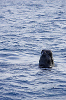 Short finned pilot whale, Globicephala macrorhynchus, spyhopping and looking to camera, Tenerife, Canary Islands, Spain, East Atlantic Ocean