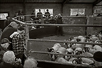 Isle of Skye, Scotland:<br /> A live sheep auction house in Portree