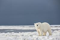 Polar bear in snow, arctic Alaska