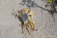 0604-0901  Ghost Crab (Sand Crab) on Beach at Outer Banks in North Carolina, Ocypode quadrata  © David Kuhn/Dwight Kuhn Photography
