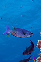 creole wrasse, Clepticus parrae, adopts head-down position to be cleaned of parasites by juvenile Spanish hogfish, Bodianus rufus, at cleaning staion on Lighthouse Reef Atoll, Belize, Central America (Caribbean Sea) (do)