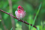 Male purple finch in northern Wisconsin.