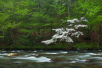 Dogwood along Little River, Little River Gorge