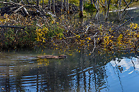 North American Beaver (Castor canadensis) swimming near winter food supply and lodge.  British Columbia, Canada.  Fall.  In fall northern beaver haul in many trees and branches for a winter food supply--much of it is underwater an is accessible even if the pond freezes over.