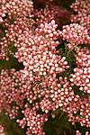 OZOTHAMNUS DIOSMIFOLIUS, ROSE RICE FLOWER