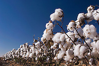 Cotton Plant, Gossypium hirsutum, seedpods, Lubbock, Panhandle, Texas, USA