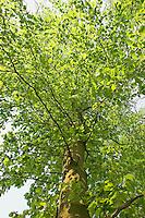 Rotbuche, Rot-Buche, Buche, Fagus sylvatica, Common Beech, Europaen Beech, Fayard, Hêtre commun