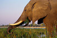 African Elephant bull feeding by collecting grasses using its trunk. (Loxodonta Africana) Africa