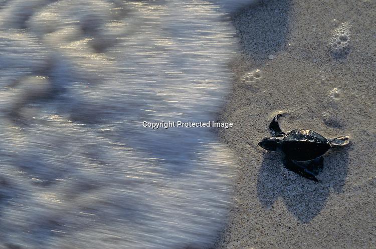 Fauna; Sea turtles; Yucatan; Mexico