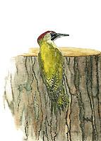 Groene Specht (Picus viridis)