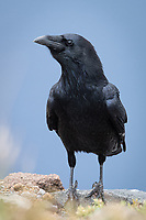 Common Raven (Corvus corax). Crater Lake National Park, Oregon. September.
