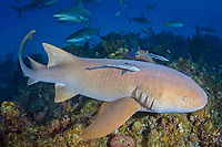 Nurse Shark, Ginglymostoma cirratum, Fish Tales, Grand Bahama Bank, Bahamas, Caribbean Sea.